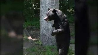 Pedals bipedal bear sighting