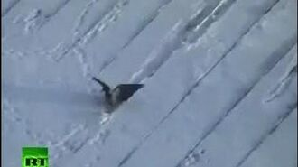Crowboarding- Russian roof-surfin' bird caught on tape