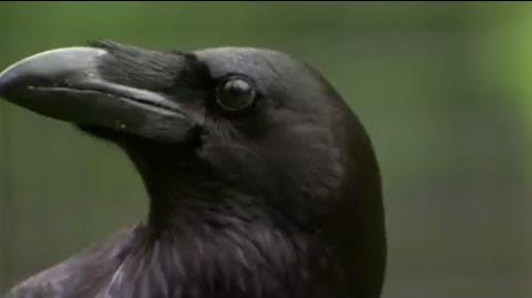 The Raven- Stealing, Spying and Bluffing - Extraordinary Animals - BBC Earth