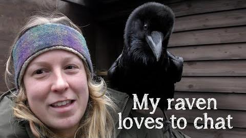 Fable the Raven - Did you know Ravens can talk?!