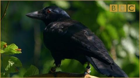 Are crows the ultimate problem solvers? - Inside the Animal Mind- Episode 2 - BBC Two