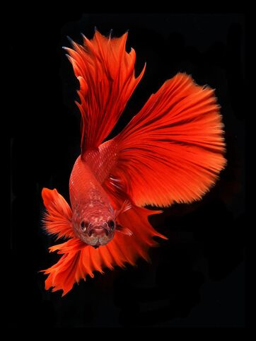 Fish-6s