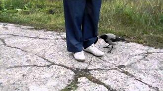 Crow unties the laces and tries to steal the pan (Хитрая ворона и сковородка)