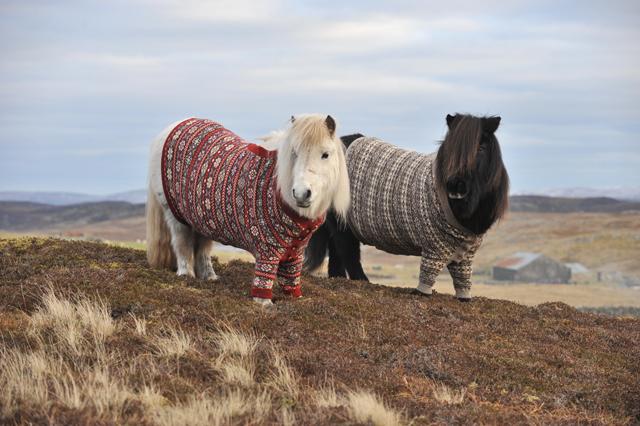 Shetland-ponies-cardigans4
