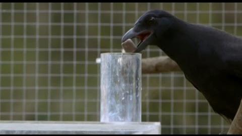 Are Crows the Ultimate Problem Solvers? - Inside the Animal Mind - BBC Earth
