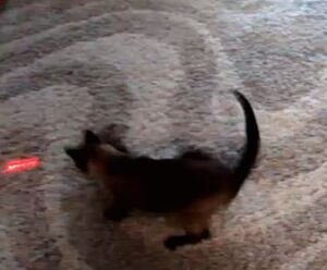 Cat-chasing-laser-light