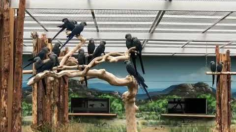 First group of Spix's Macaws chosen for return to Brazil