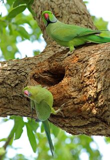 800px-Male and female parakeet 1
