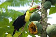Keel-billed-toucan-eating