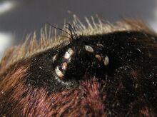 Cyclosternum fasciatum, eye region