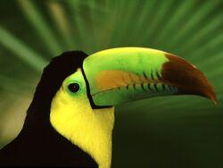 1212745333 1024x768 keel-billed-toucan