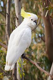 170px-Sulphur Crested Cockatoo Nov10