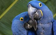 Hyacinth macaw couple