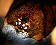 Lasiodora parahybana, eyes