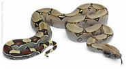 Boa-Constrictor-Facts-624x345