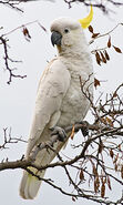 Sulphur-crested Cockatoo on a Branch