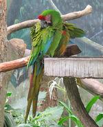 https://en.wikipedia.org/wiki/Macaw#/media/File:Military_Macaw_jbp
