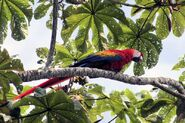 Scarlet macaw in tree