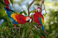Scarlet-macaws-at-Limonal