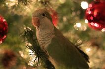 Binky the baby Quaker parrot ready for the holidays