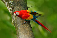 Scarlet macaw on tree