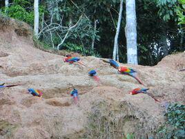 Scarlet macaw eatting clay