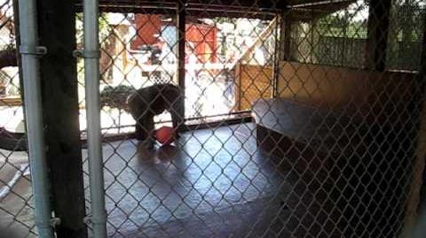 Monkey throws poop at screaming girl!!!!