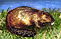 Beaver Pelts