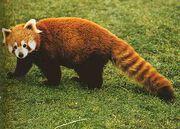 Red-Panda3