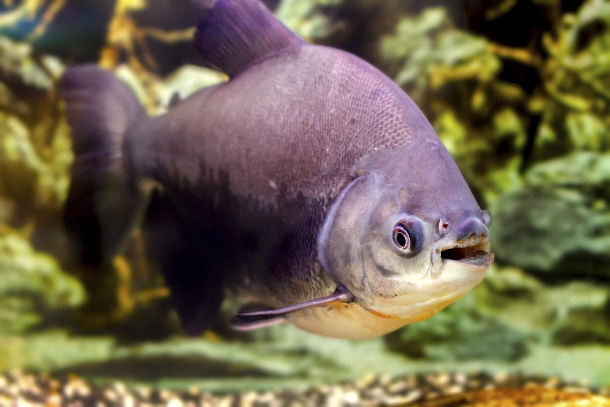 image 1200 477249276 pacu fish jpg river monsters wiki fandom