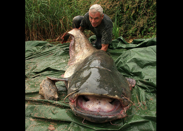 wels catfish river monsters wiki fandom powered by wikia