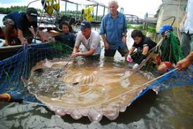 giant freshwater stingray river monsters wiki fandom powered by
