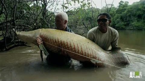 Monster Arapaima is Your 'Mermaid' of Lore - River Monsters
