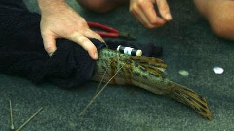 How To Tag An Alligator Gar - River Monsters