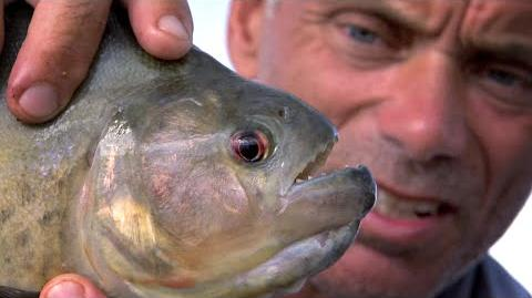 The Black Piranha - River Monsters