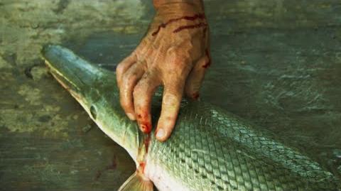 Baby Alligator Gar Bites Jeremy - River Monsters