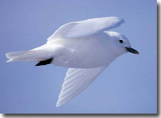 File:Gull.png