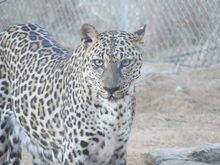 Леопард-1452115779