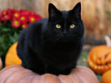 Породы черных кошек