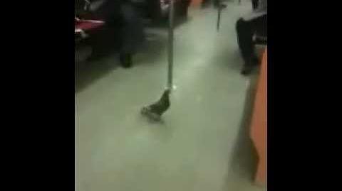 Paloma que viaja en el metro
