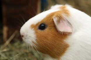 Guinea-pig3.s600x600