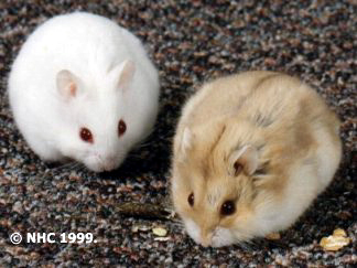 Campbell's dwarf hamster | Rodent Care Wiki | FANDOM powered by Wikia