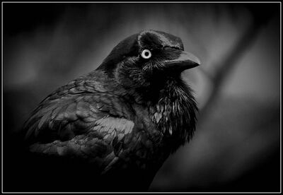 Cot crow