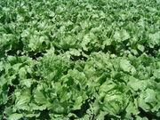 1280px-Iceberg lettuce in SB