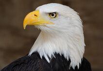 ESA Bald Eagle Portrait