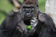 Gorillaeatspepper