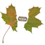 ► maple leaf in sunder by razor blade◄ Berlin, October 3rd 2007