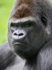 Gorillapic