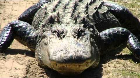 Crocodilian sounds