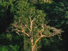 Possible Massassi tree ANH